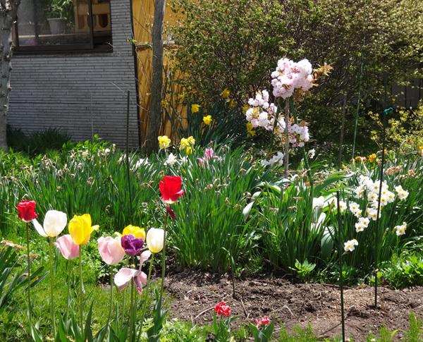 庭に小さな八重桜♪_a0136293_17223318.jpg