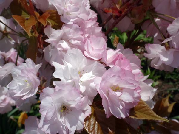 庭に小さな八重桜♪_a0136293_17322233.jpg