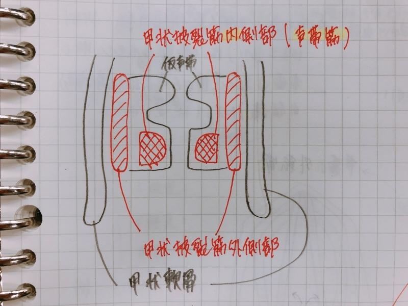 声帯の解剖_f0334910_12411260.jpeg