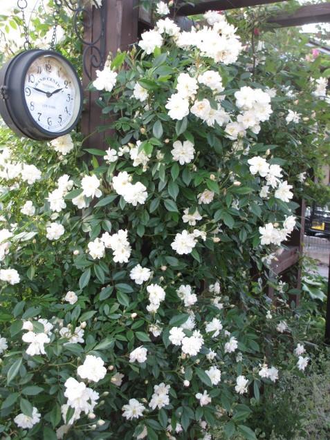 「スノーグース」が庭入り口アーチで見頃になりました_a0243064_16433359.jpg