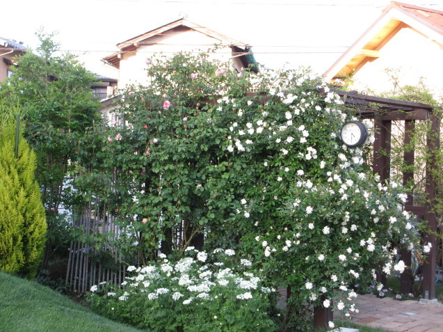 「スノーグース」が庭入り口アーチで見頃になりました_a0243064_16462356.jpg