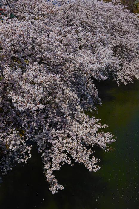 桜2018ご近所_f0021869_22083741.jpg