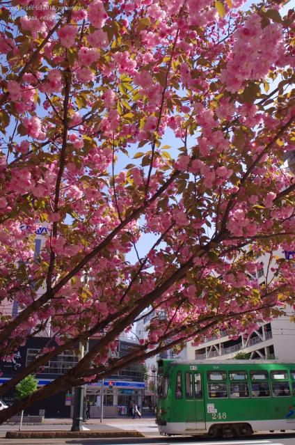 八重桜満開の通りで_d0309612_23423013.jpg