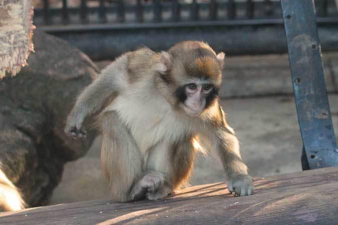 大宮公園小動物園の多彩な霊長類~ニホンザル、フサオマキザル_b0355317_22403736.jpg