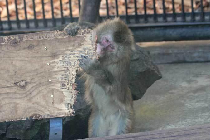 大宮公園小動物園の多彩な霊長類~ニホンザル、フサオマキザル_b0355317_22415296.jpg