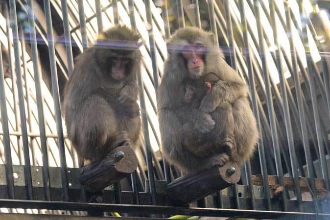 大宮公園小動物園の多彩な霊長類~ニホンザル、フサオマキザル_b0355317_22463174.jpg