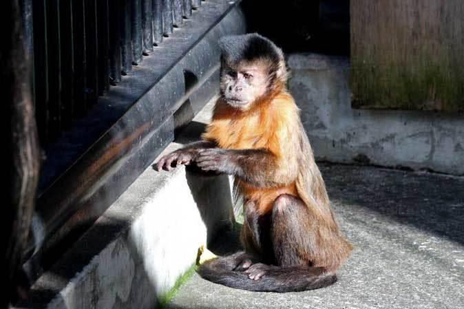 大宮公園小動物園の多彩な霊長類~ニホンザル、フサオマキザル_b0355317_22495243.jpg