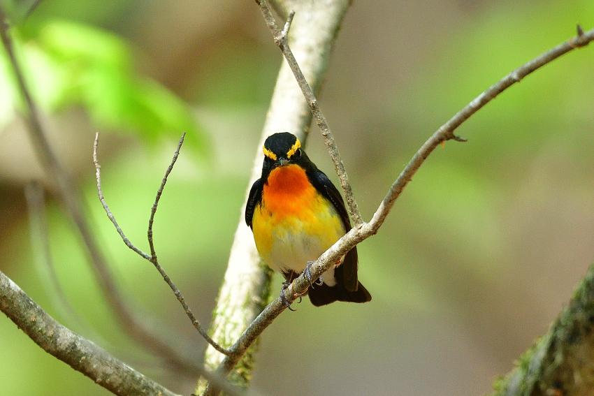 キビタキ(Narcissus Flycatcher)/2018.05_b0148352_17122976.jpg