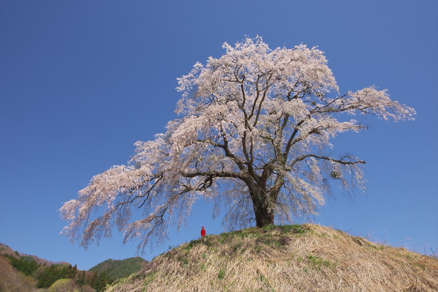 上発地の枝垂桜 2_f0018464_615789.jpg