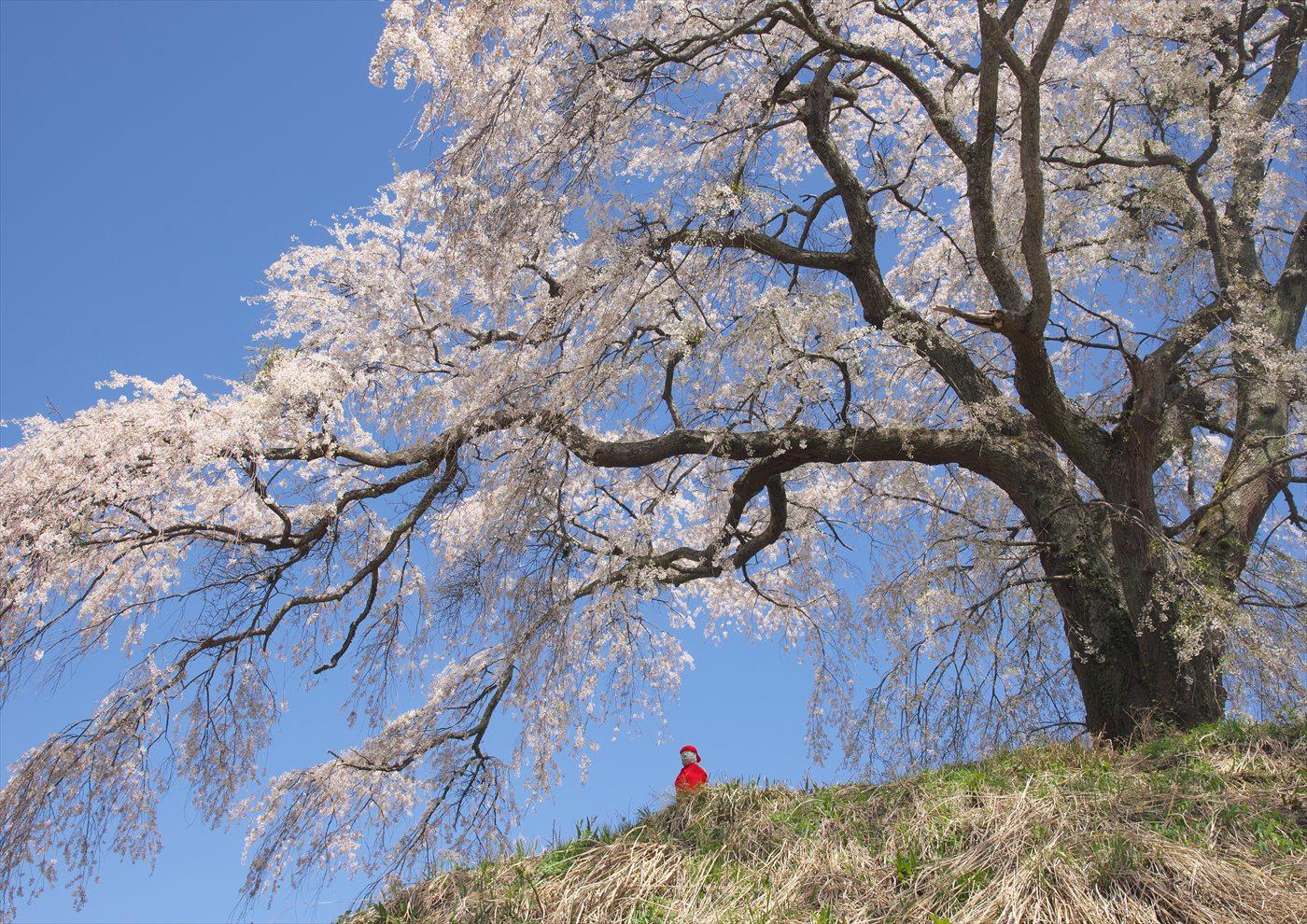 上発地の枝垂桜 2_f0018464_635265.jpg