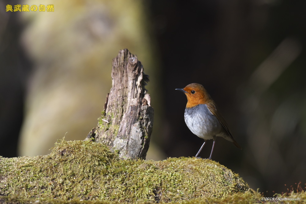 撮った鳥全部シリーズ_e0268015_13435196.jpg