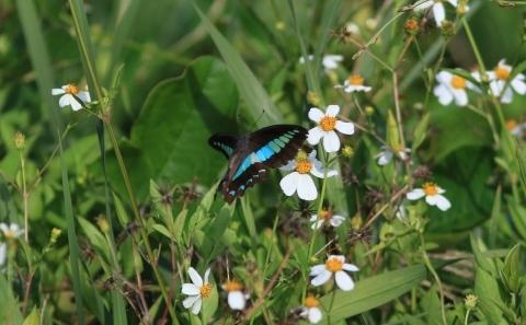 与論島の蝶たち_d0285540_05555469.jpg