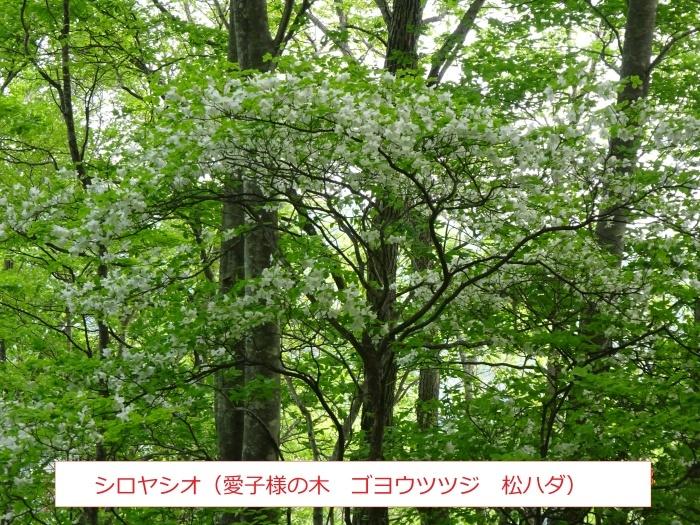 シロヤシオ、咲く三方倉山_e0265627_14352148.jpg