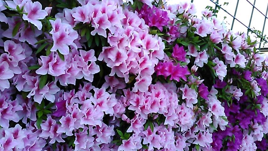 躑躅、サツキ、カキツバタの花々、そして活花_f0329849_17412401.jpg