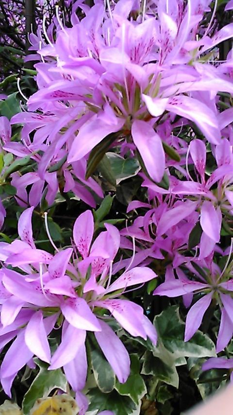 躑躅、サツキ、カキツバタの花々、そして活花_f0329849_17414503.jpg