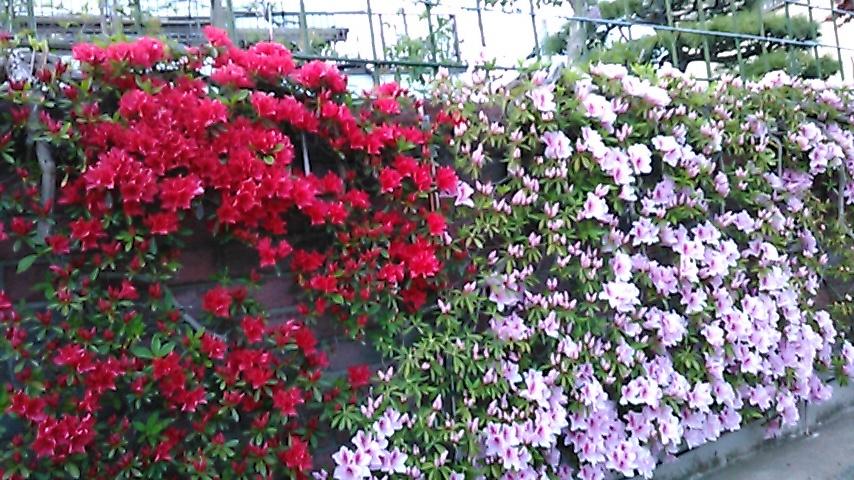 躑躅、サツキ、カキツバタの花々、そして活花_f0329849_17420261.jpg