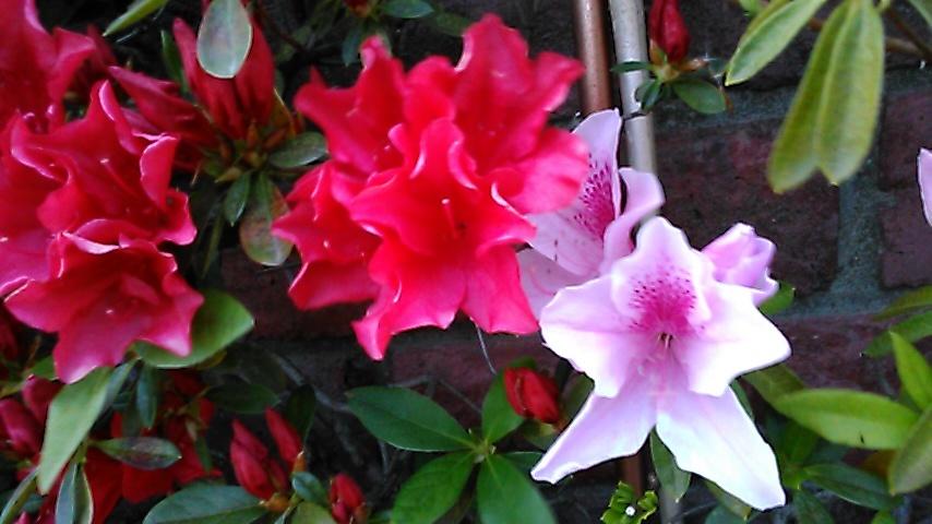 躑躅、サツキ、カキツバタの花々、そして活花_f0329849_17425770.jpg