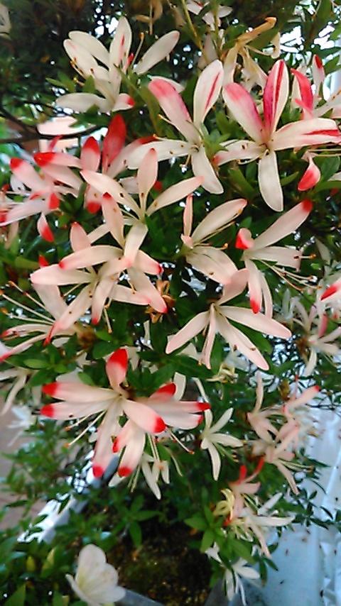 躑躅、サツキ、カキツバタの花々、そして活花_f0329849_17434741.jpg