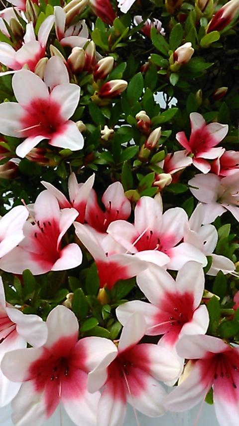躑躅、サツキ、カキツバタの花々、そして活花_f0329849_17442467.jpg