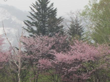 遅めの桜を眺めながら・・。道民の森ノルディックウォーキング2018。_d0198793_19205038.jpg