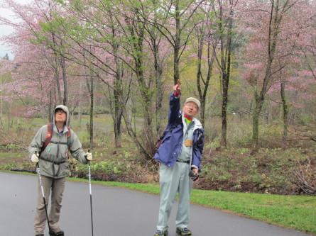 遅めの桜を眺めながら・・。道民の森ノルディックウォーキング2018。_d0198793_19215153.jpg