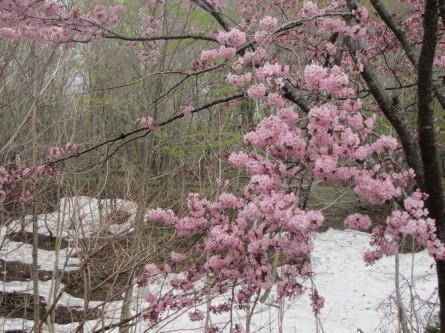 遅めの桜を眺めながら・・。道民の森ノルディックウォーキング2018。_d0198793_19223744.jpg
