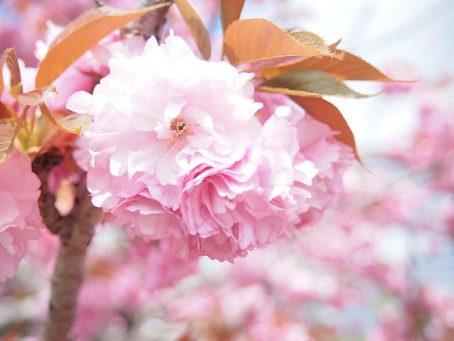 圧倒的桜。2018 春死なむ_d0295818_11024493.jpg