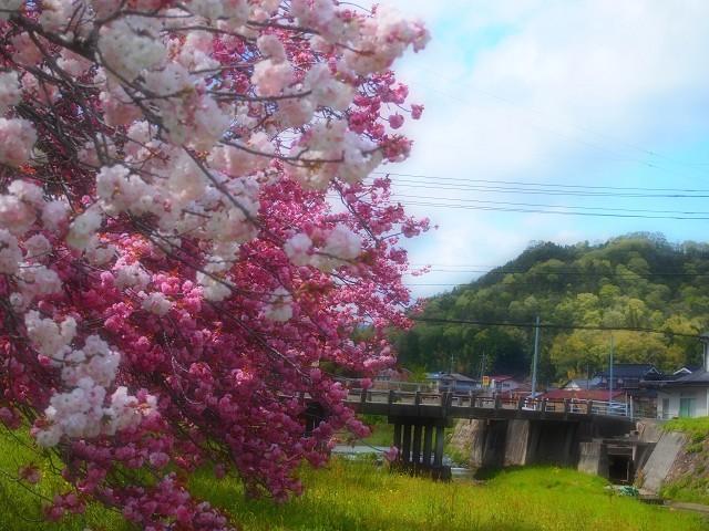 圧倒的桜。2018 春死なむ_d0295818_11092613.jpg