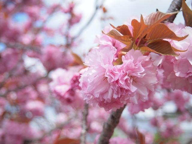 圧倒的桜。2018 春死なむ_d0295818_11245653.jpg