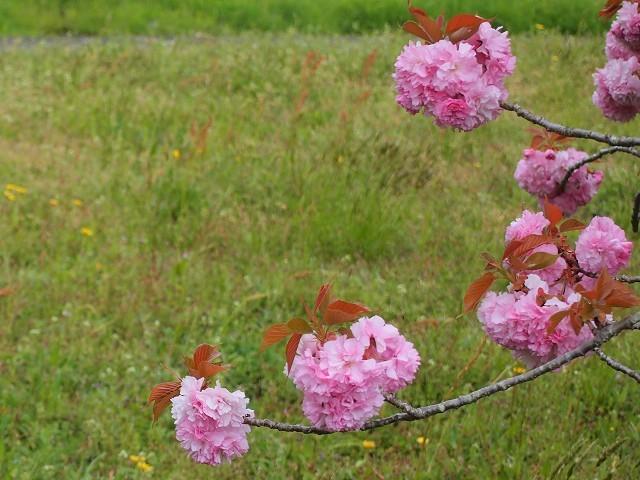 圧倒的桜。2018 春死なむ_d0295818_11282634.jpg