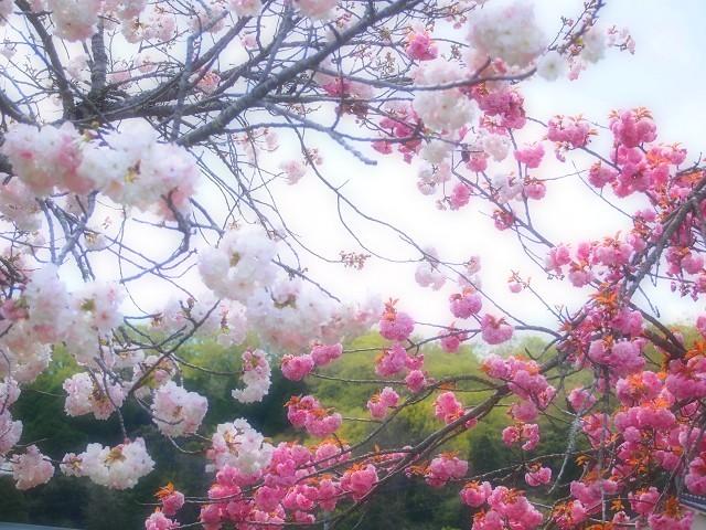 圧倒的桜。2018 春死なむ_d0295818_11493715.jpg