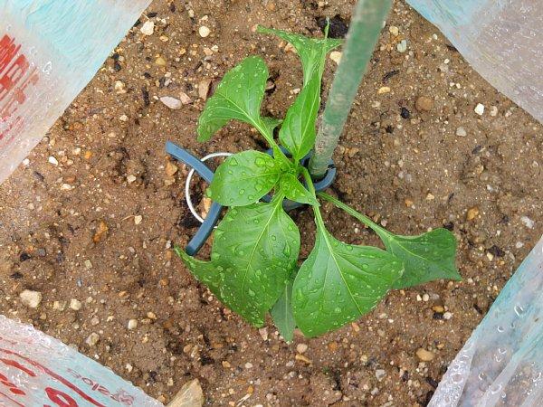 2018年5月22日 ナスとピーマンの苗を植えました (^o^)V_b0341140_1959516.jpg