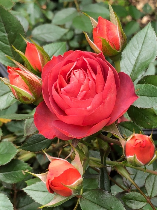 薔薇!!!_c0012247_14332265.jpg