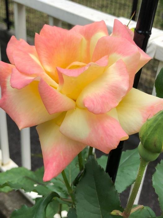 薔薇!!!_c0012247_14333724.jpg