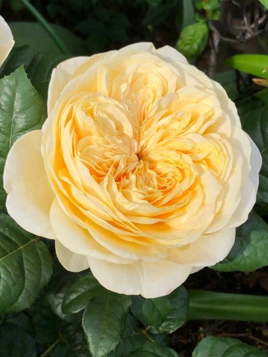 薔薇!!!_c0012247_14334519.jpg