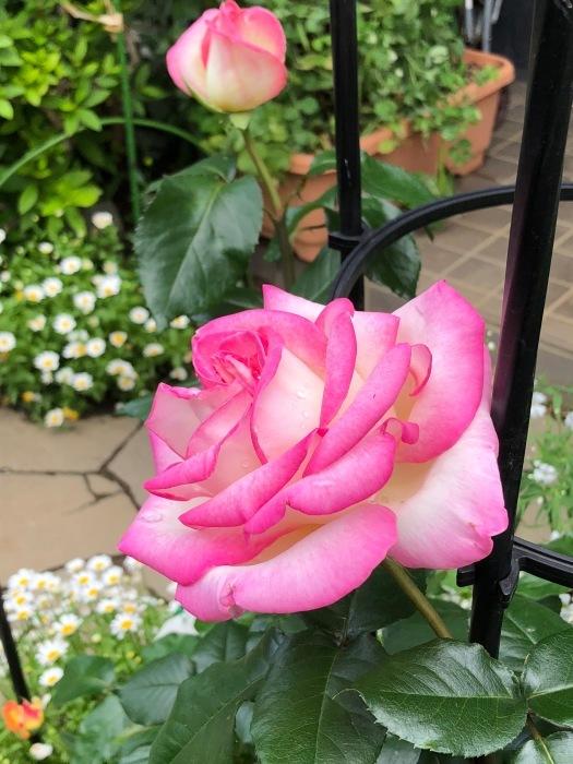 薔薇!!!_c0012247_14334980.jpg