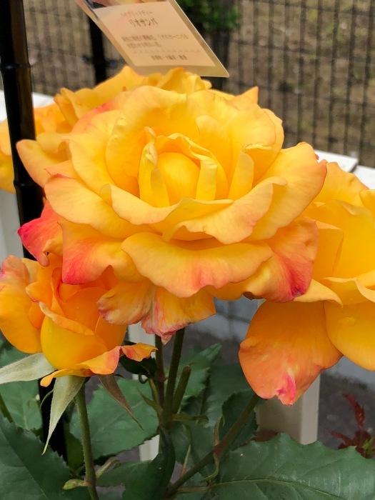薔薇!!!_c0012247_14340911.jpg