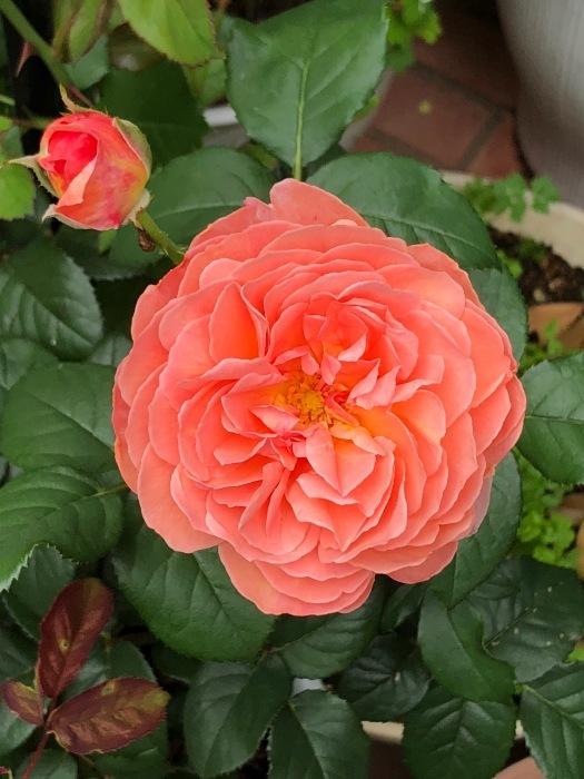 薔薇!!!_c0012247_14341760.jpg