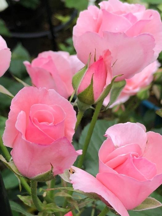 薔薇!!!_c0012247_14342600.jpg