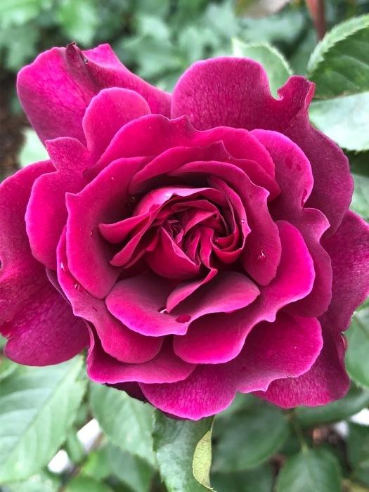 薔薇!!!_c0012247_14343529.jpg