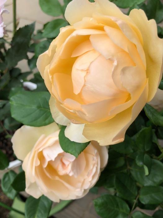 薔薇!!!_c0012247_14344412.jpg