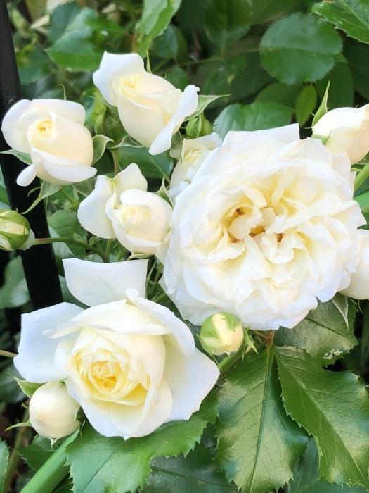 薔薇!!!_c0012247_14345336.jpg