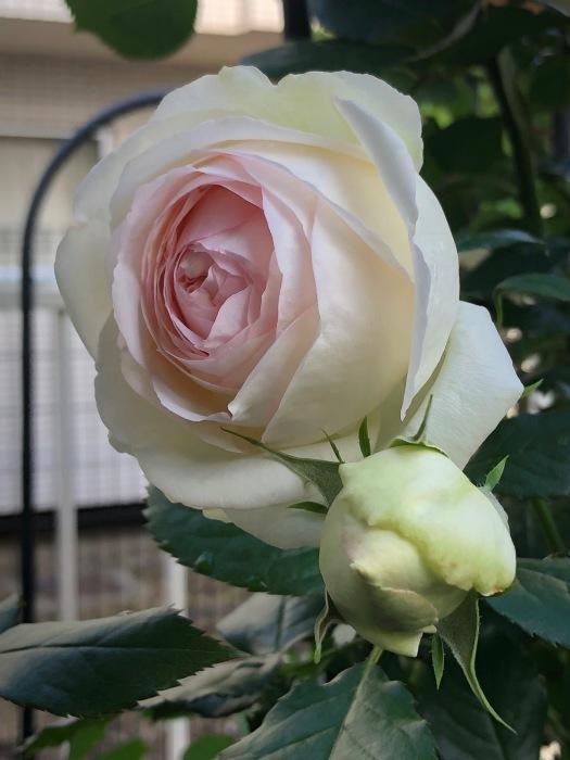 薔薇!!!_c0012247_14345940.jpg