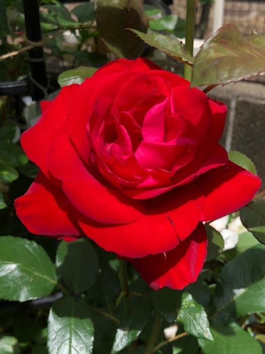 薔薇!!!_c0012247_14350696.jpg