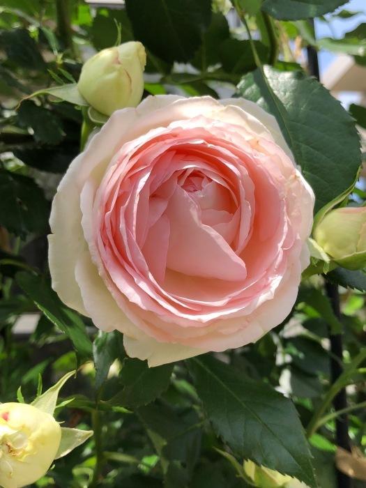 薔薇!!!_c0012247_14351041.jpg