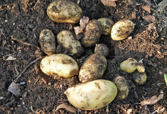 ピルカ(ジャガイモ)試掘りし、ビーフシチュウに5・15_c0014967_21243455.jpg