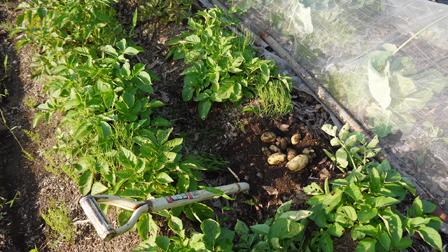 ピルカ(ジャガイモ)試掘りし、ビーフシチュウに5・15_c0014967_21245125.jpg