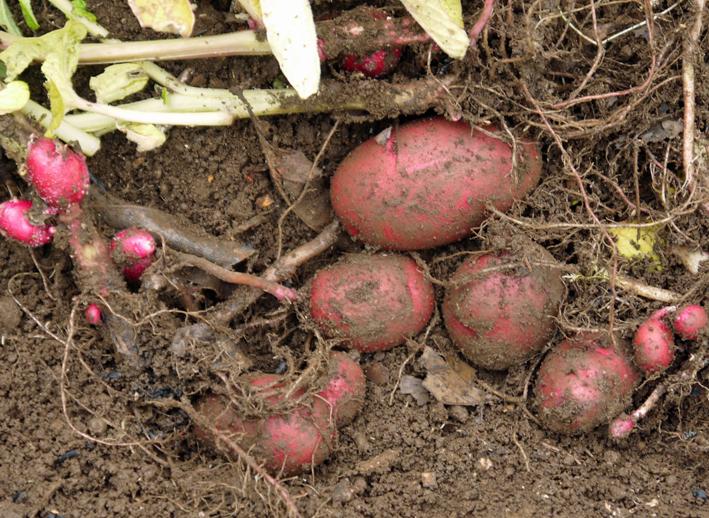 ピルカ(ジャガイモ)試掘りし、ビーフシチュウに5・15_c0014967_2126665.jpg
