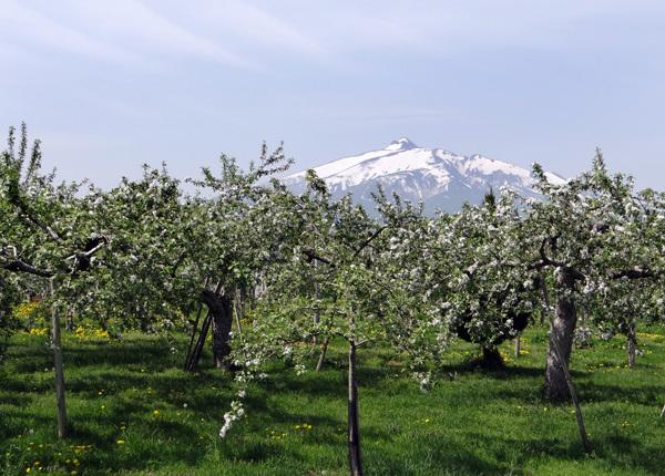 田んぼに映える逆さ津軽富士と、満開のリンゴの花など♪_a0136293_17310137.jpg