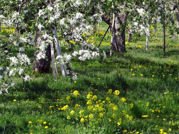 田んぼに映える逆さ津軽富士と、満開のリンゴの花など♪_a0136293_17312337.jpg